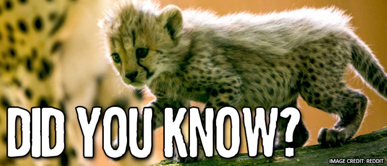 Did you know: Cheetahs - Mojo